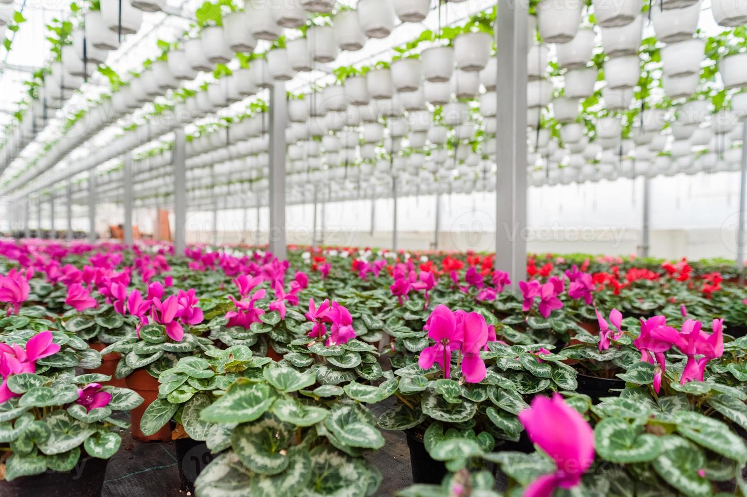 Blumenkultur in einem Gewächshaus foto