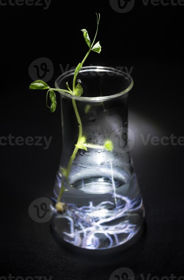 hydroponische Pflanzenkultur im Erlenmeyerkolben foto