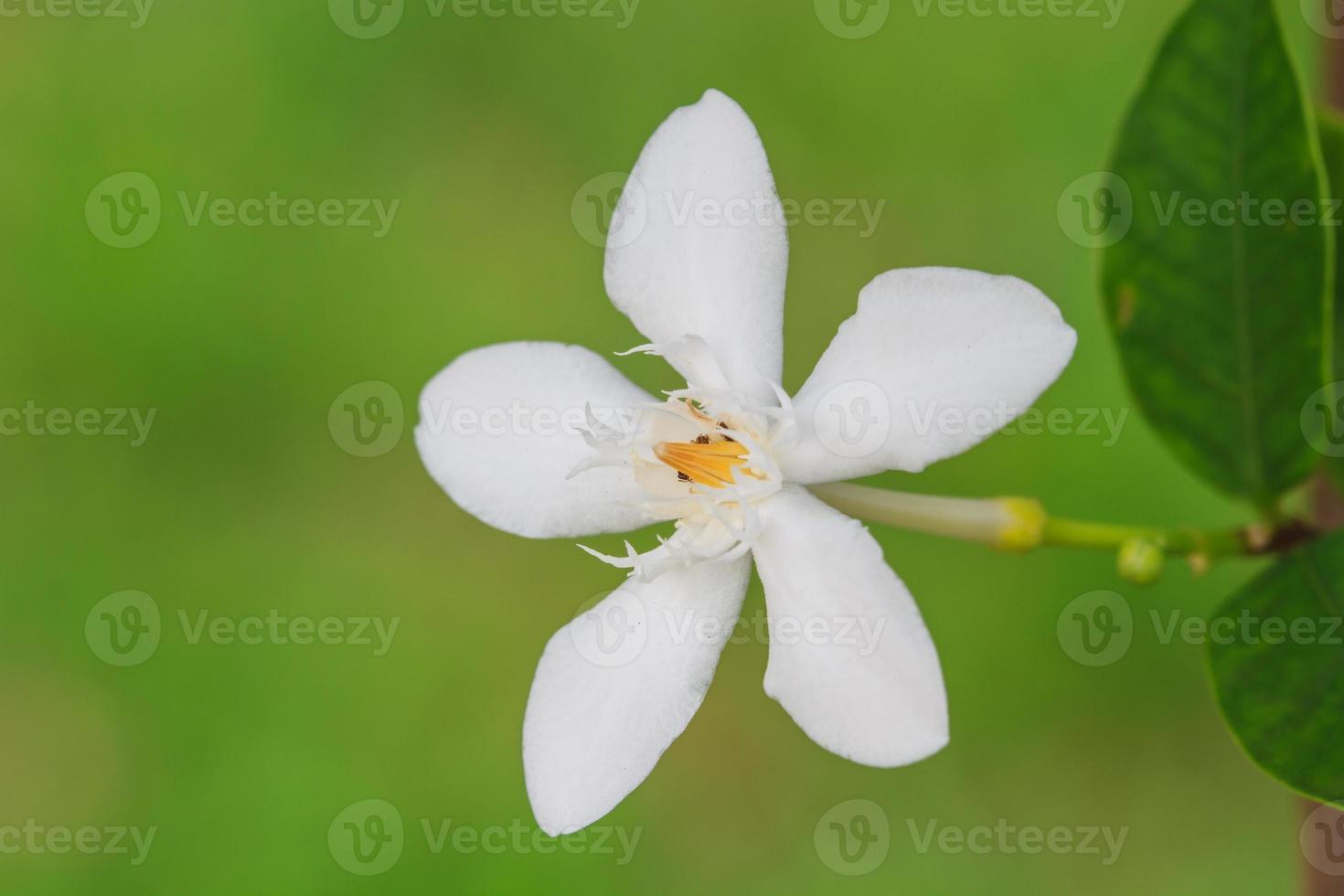 Gardenie Blume foto