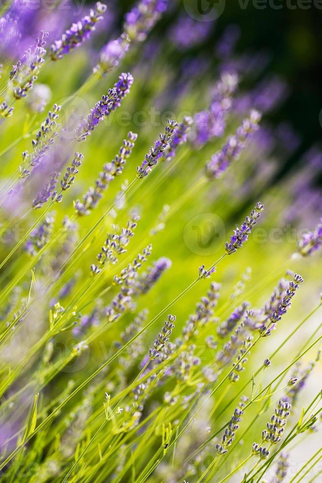 frischer Lavendel foto