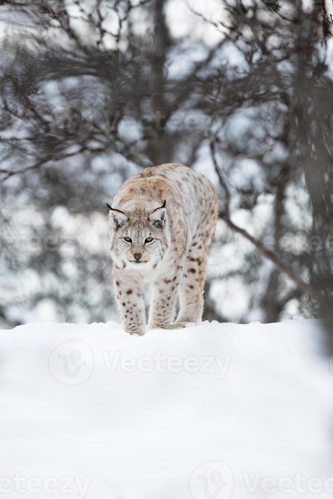 Europäischer Luchs, der im Schnee geht foto