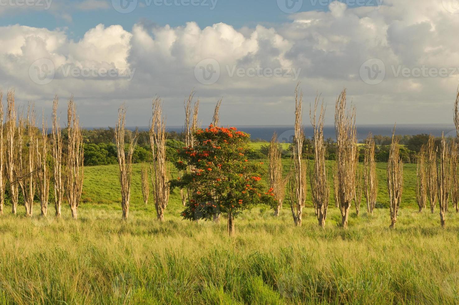 blühender Baum auf Hawaii foto
