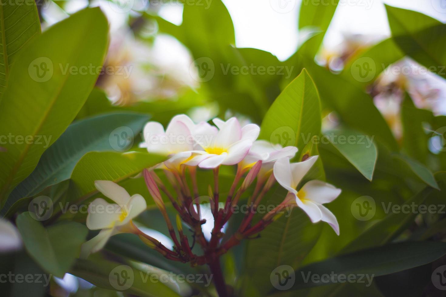 Frangipani Blüten und Blätter foto