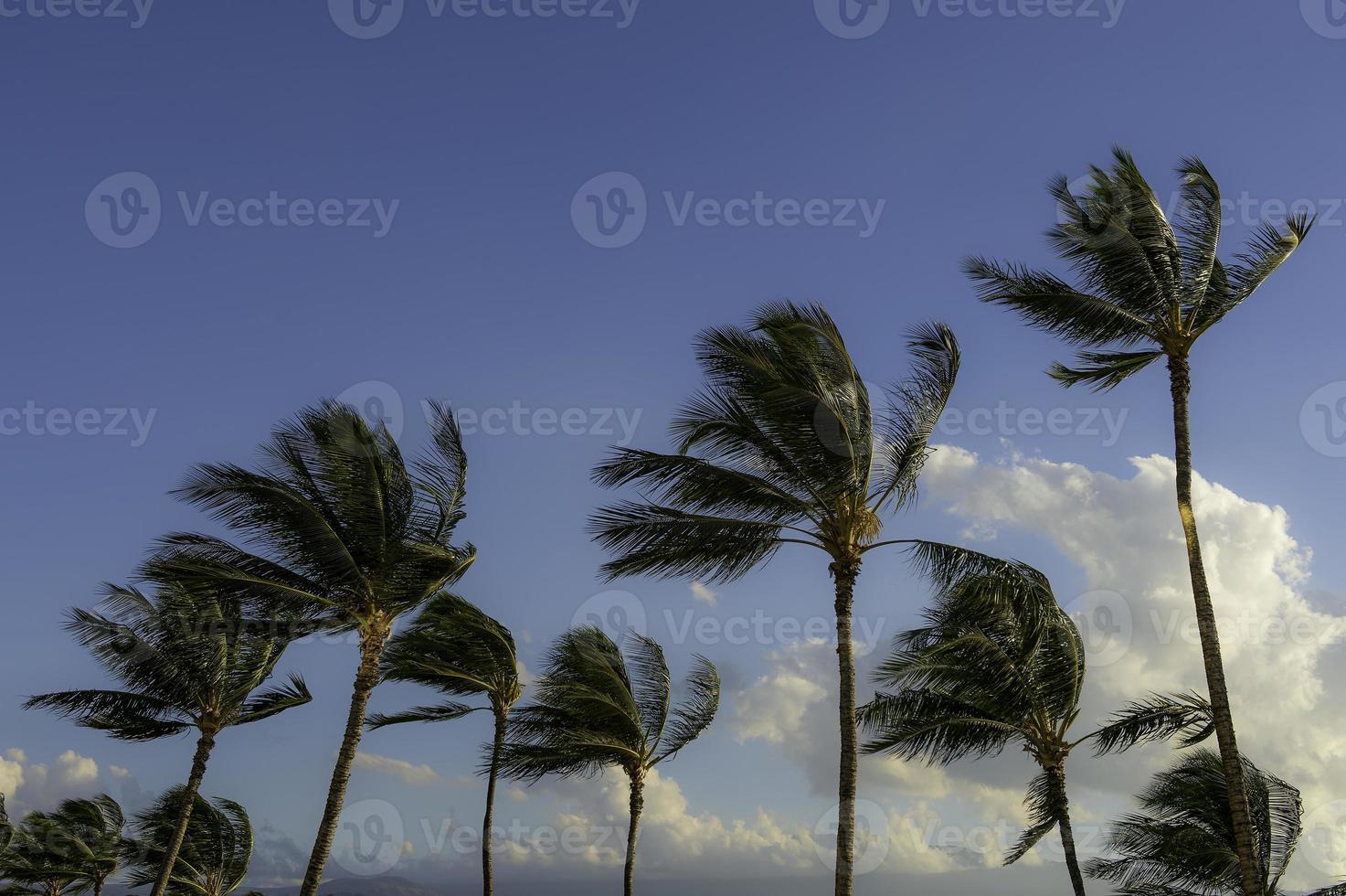 Kona Hawaii Palmen foto
