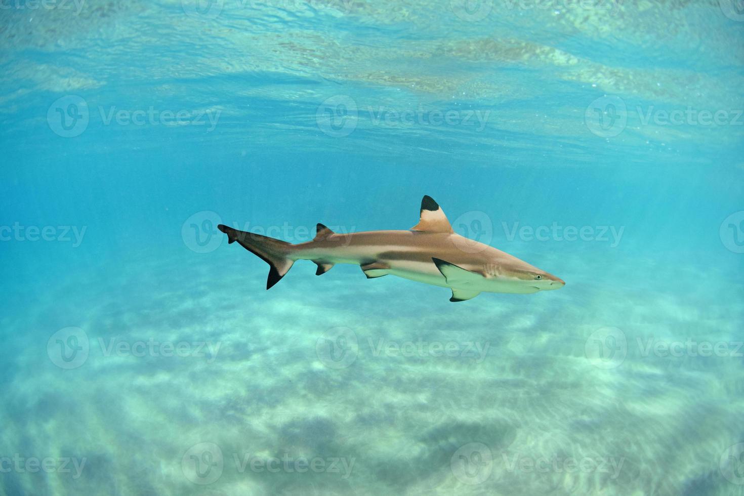 Hawaii-Riffhai mit schwarzer Spitze foto