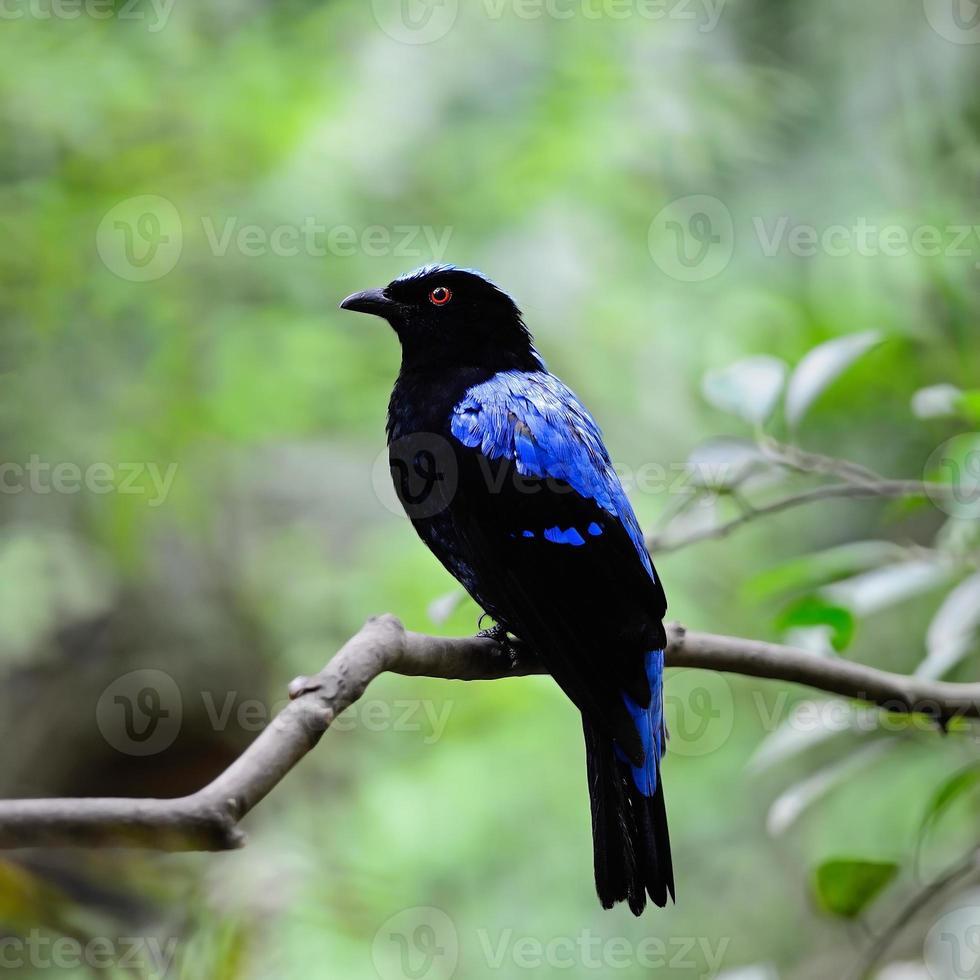 asiatische Fee Bluebird foto
