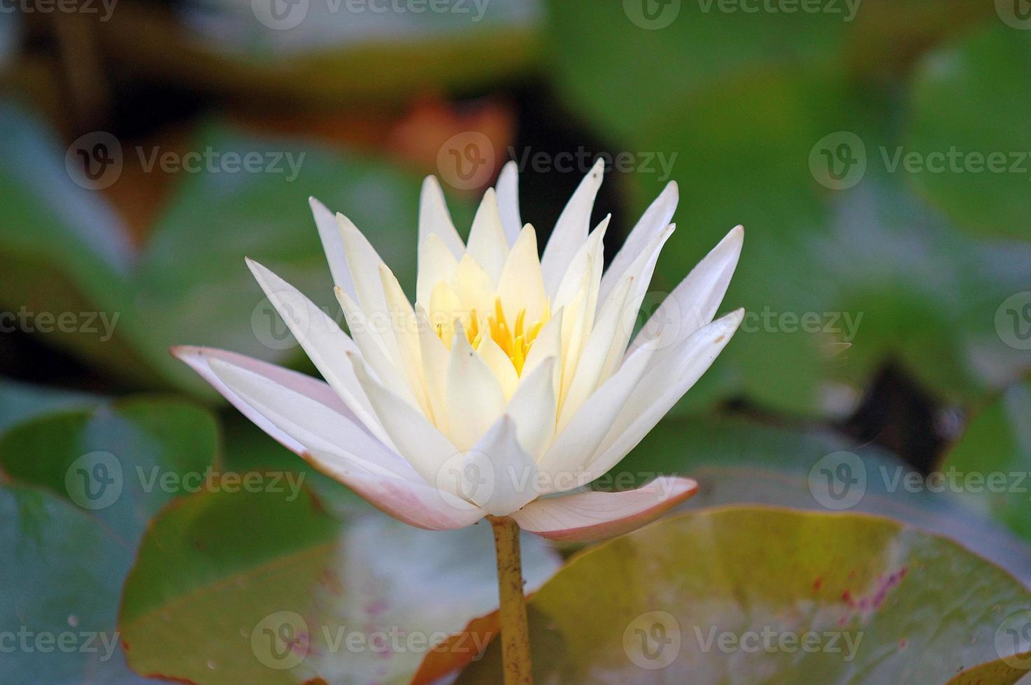 Lotusblüte, asiatischer Garten foto