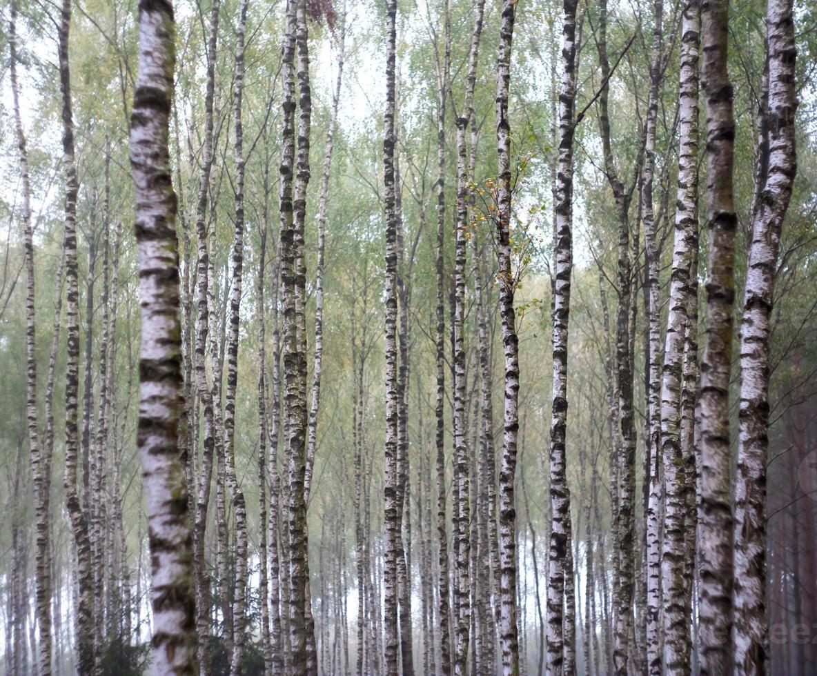 Birkenwald bis Herbst in Holz foto