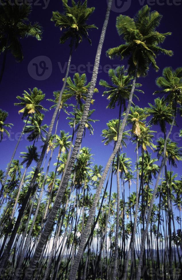 USA Hawaii Molokai, Kapua'iwa Kokosnusshain. foto