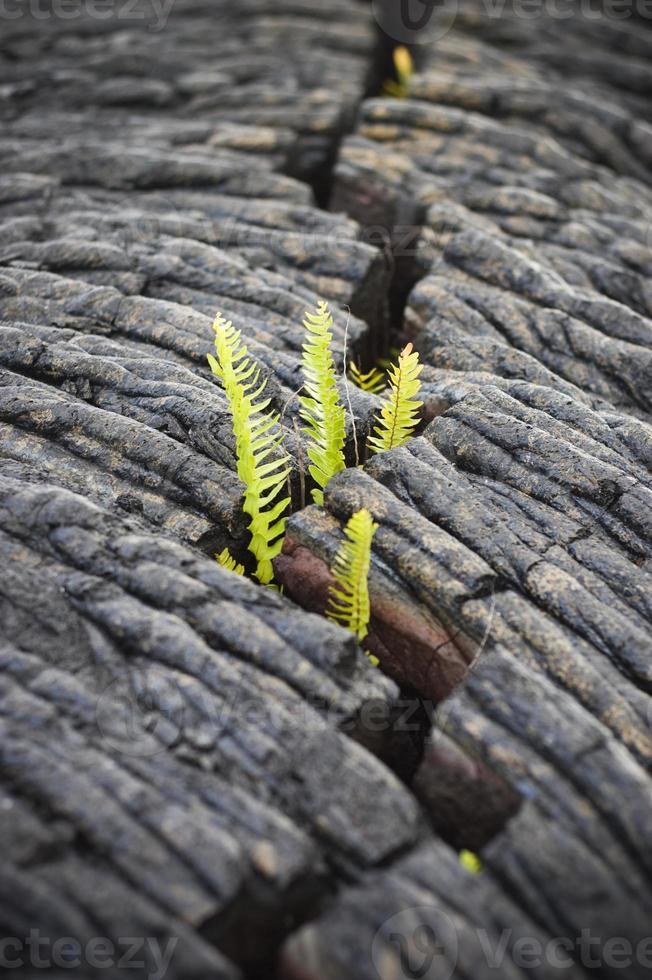 Farn wächst aus einem Riss foto