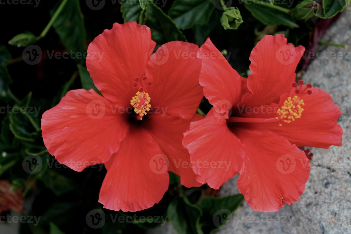 wunderschöne rubinrote Hibiskusblüten foto