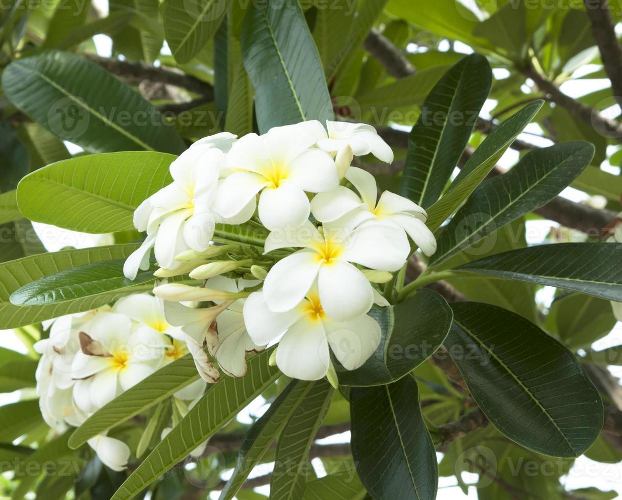 Leelawadee Blume foto