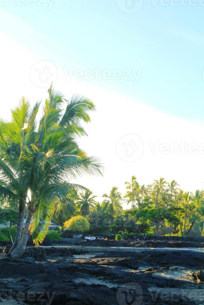 Hawaii-Kokosnussbaum foto