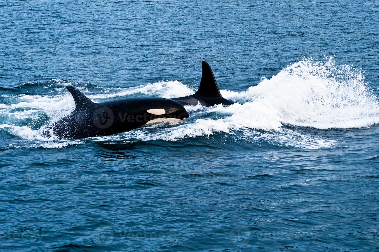 Orca-Wale foto