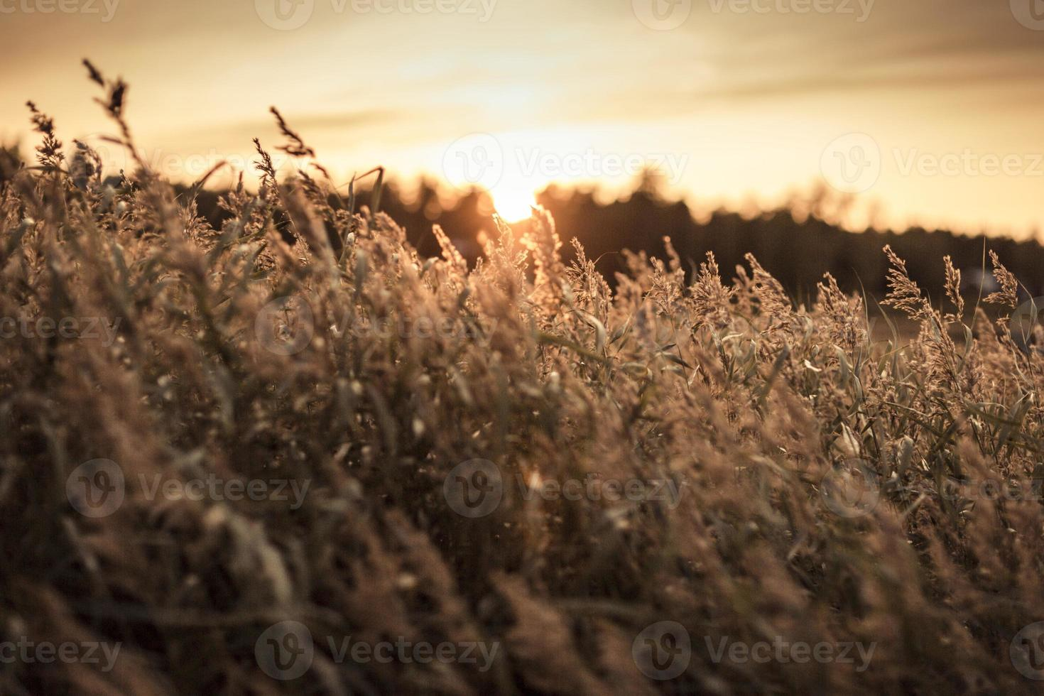 schwedisches Gras im Vordergrund bei Sonnenuntergang 4 foto