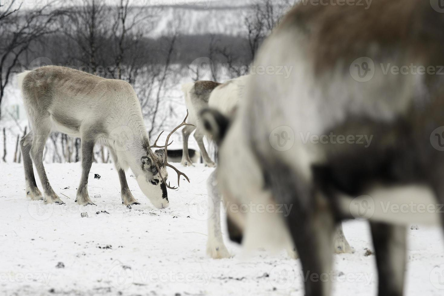 Rentiere im arktischen Norden foto