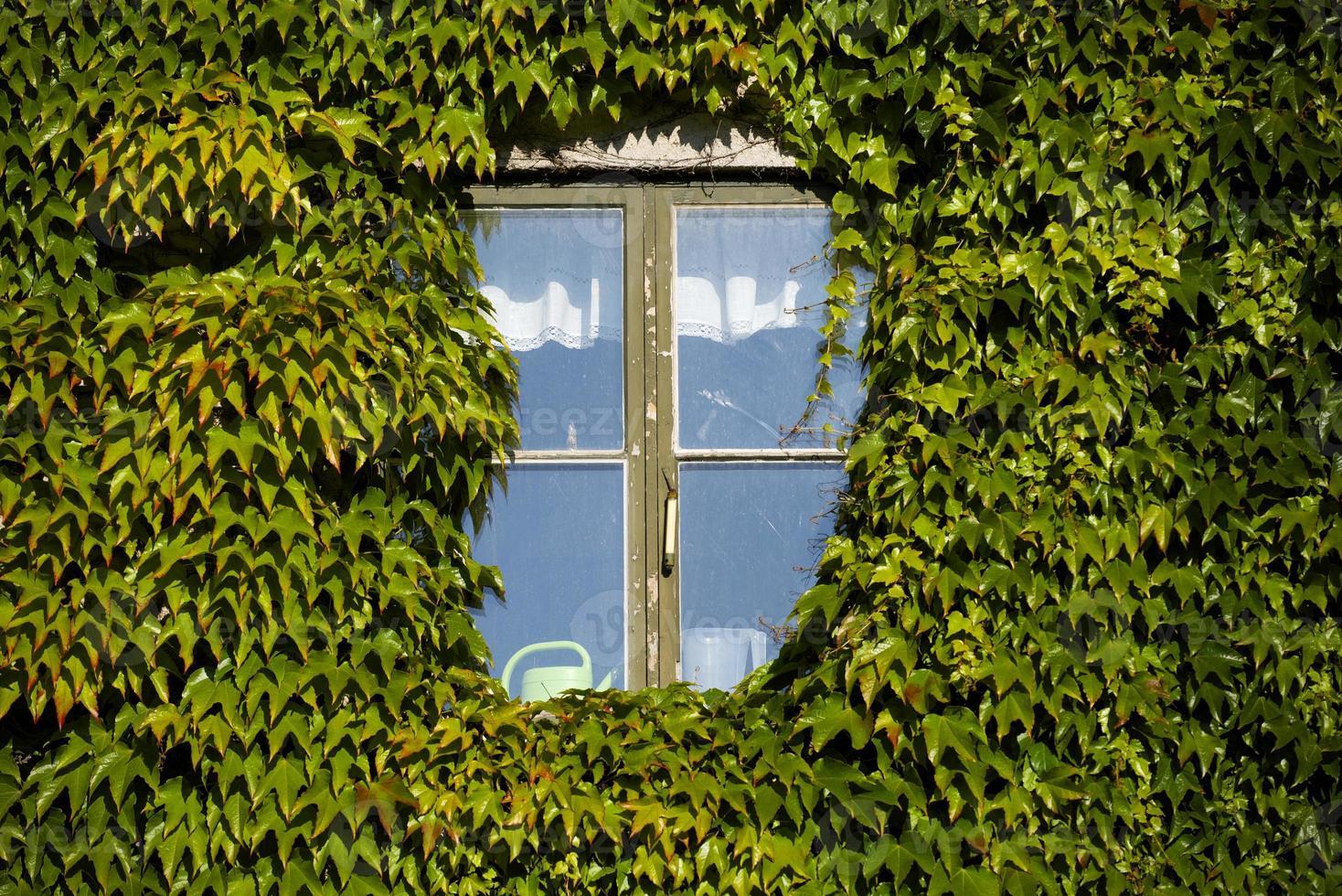 Efeu bedeckte Wand und Fenster foto
