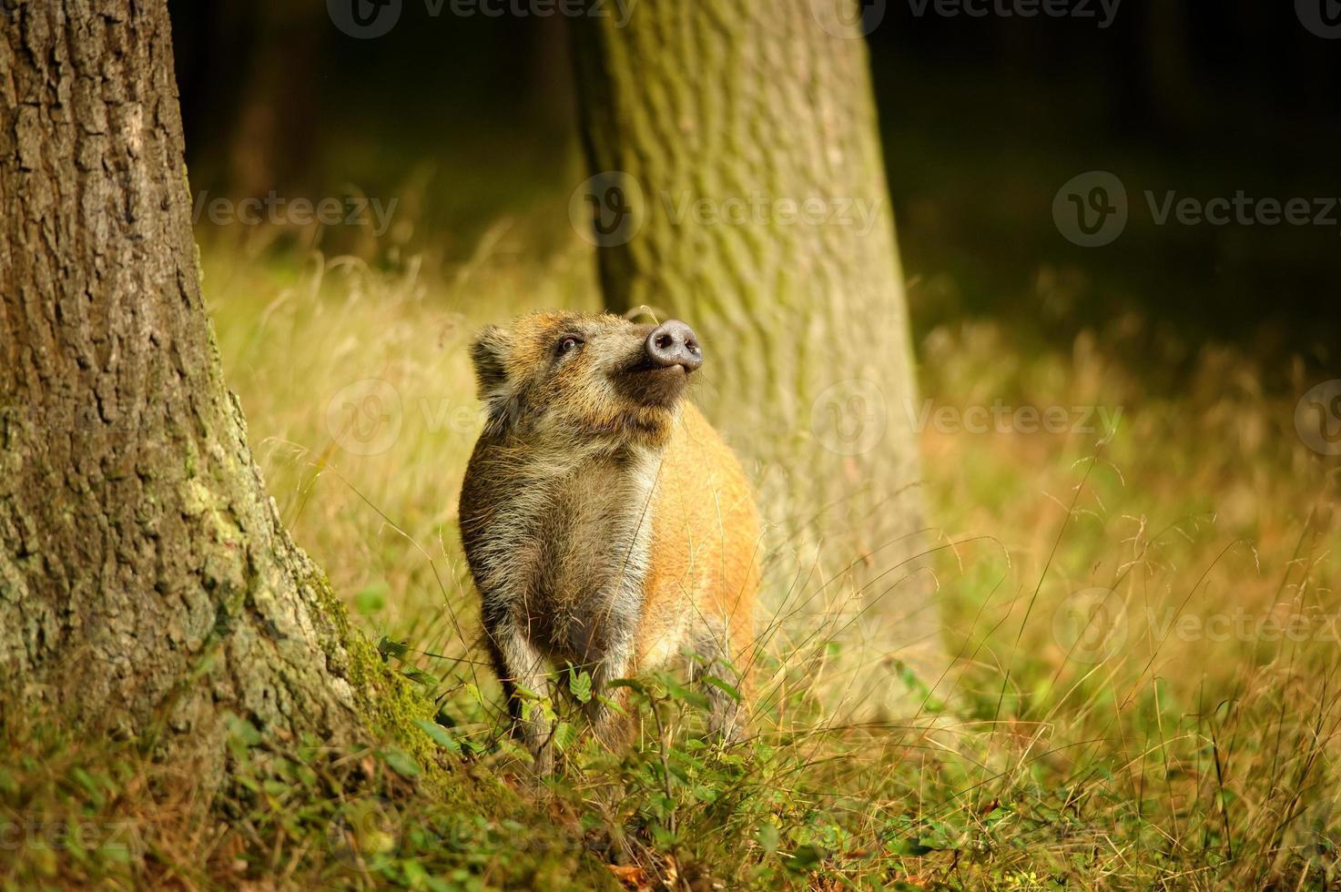 Wildschweinbaby schnüffelt zwischen Baumstämmen foto