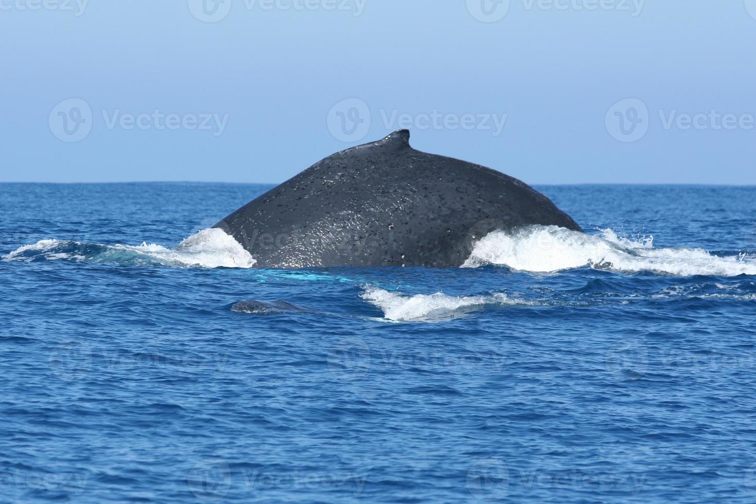 Wal zurück foto