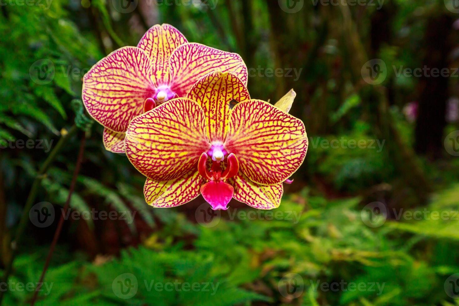 duftende Orchidee in voller Blüte foto