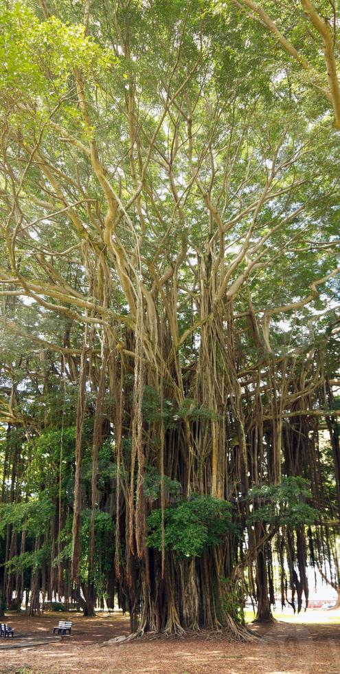 indischer Banyan foto