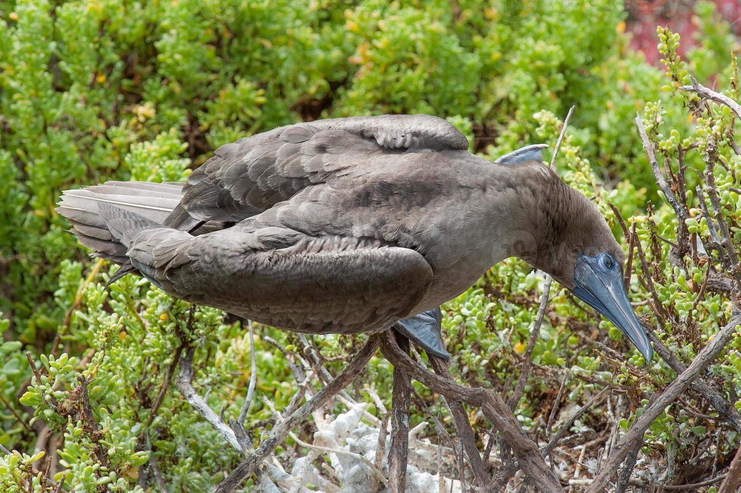 Galapagos-Tiere foto