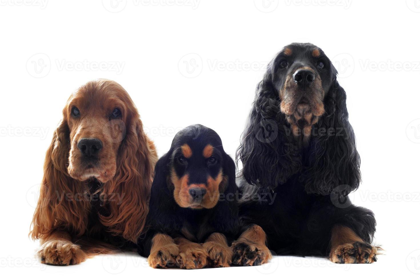 Familie Englisch Cocker foto