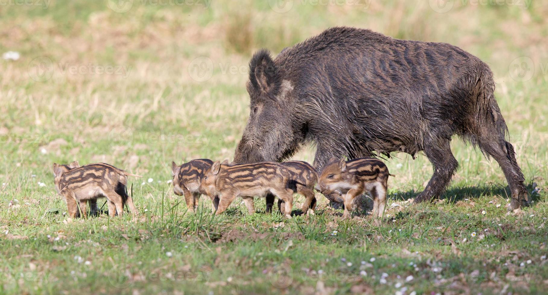 Wildschweinfamilie foto