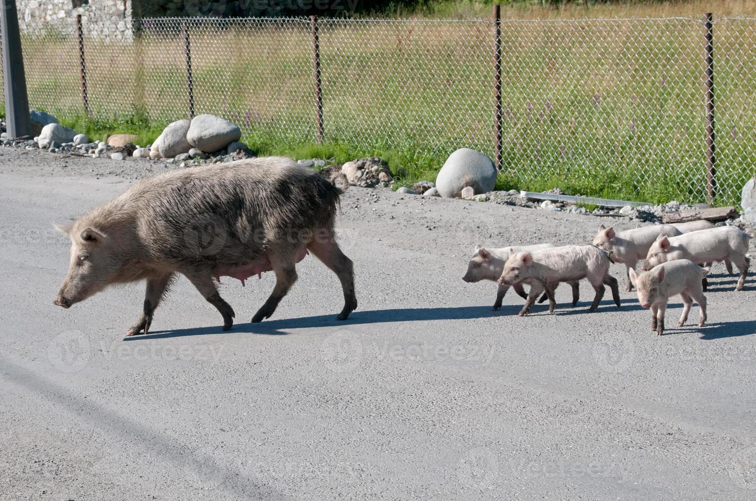 Schweinefamilie auf dem Ritt foto
