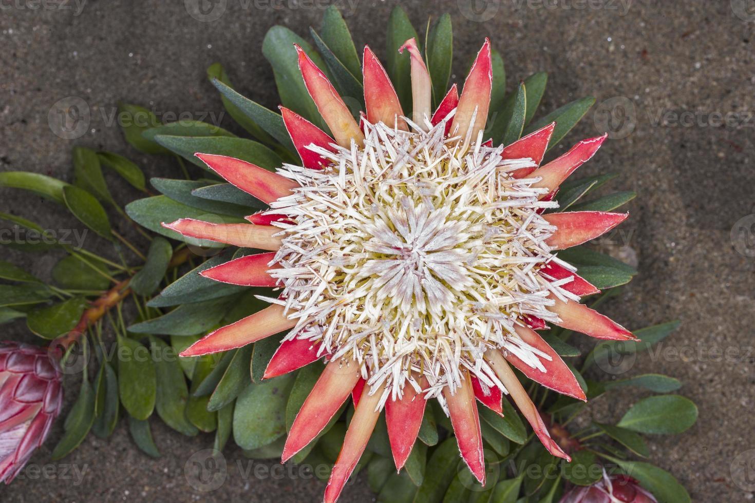 protea sp. (Familie: Proteaceae. Südafrika). foto