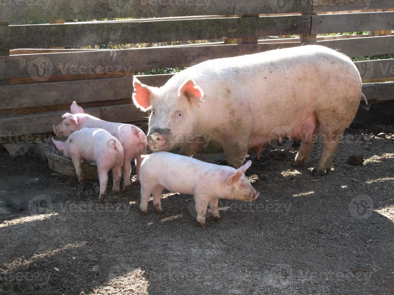 Schweinefamilienessen foto