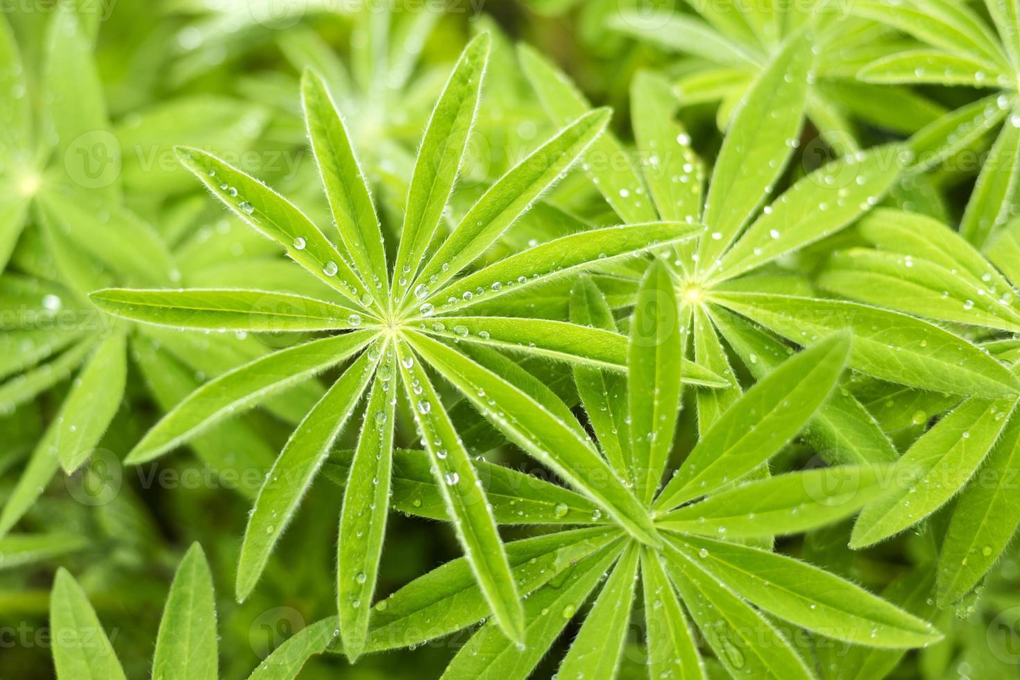 Lupine Blätter Regen Tropfen Hintergrund foto