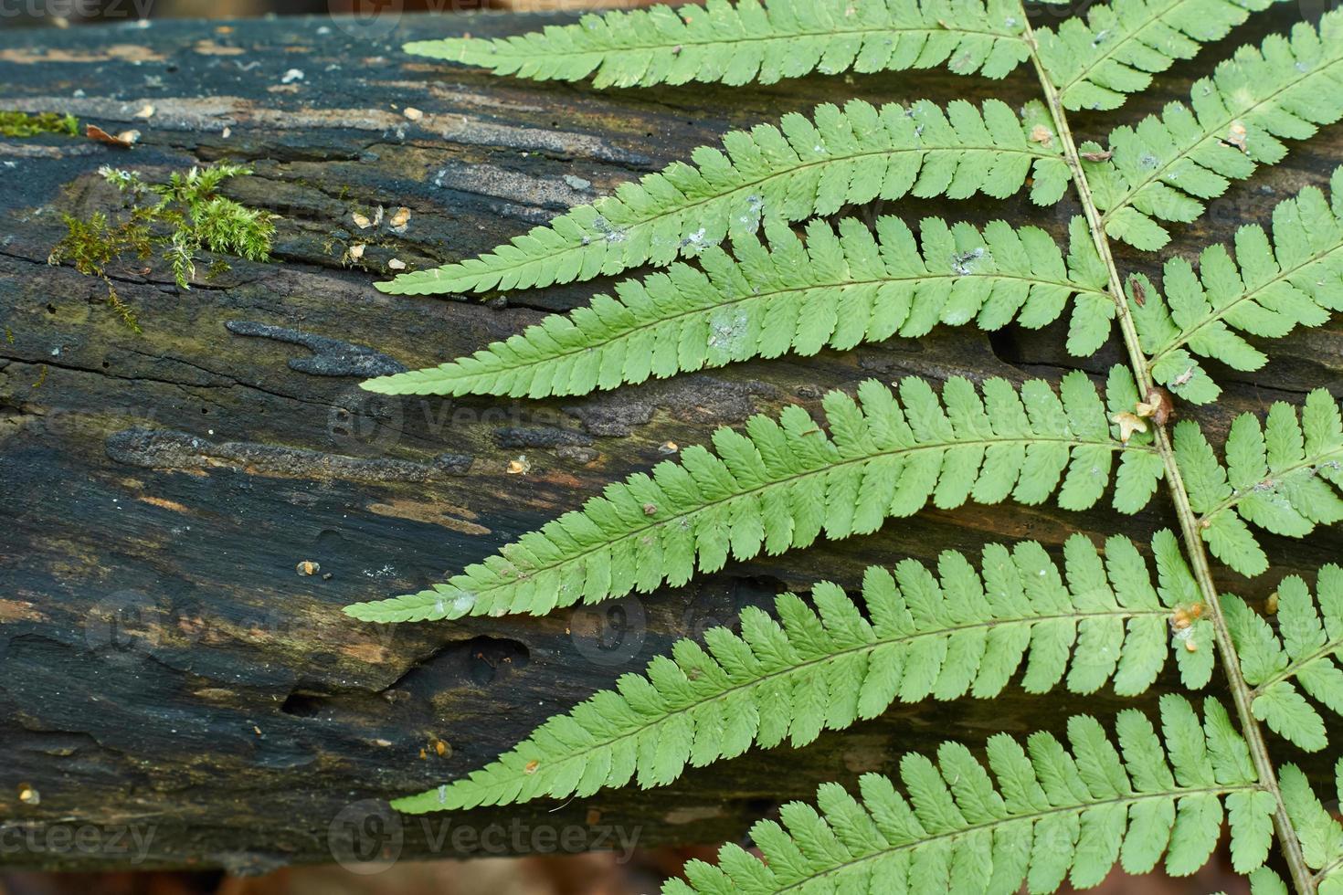Farnblätter auf einem Hintergrund des Holzes. foto