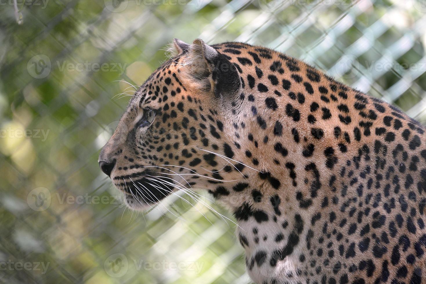 Porträt des Leoparden foto