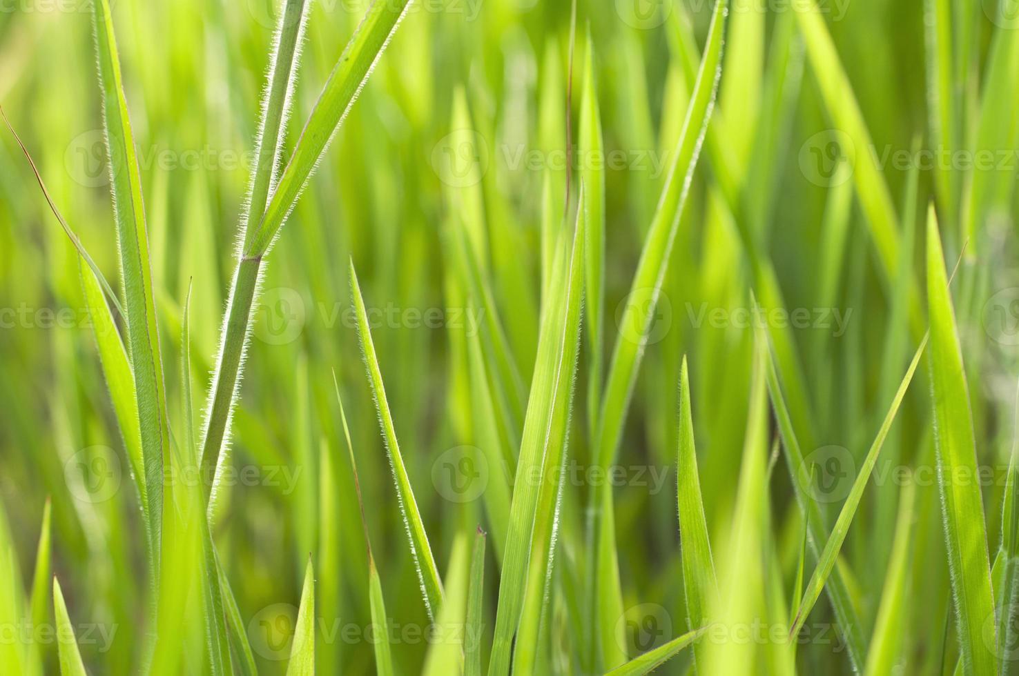 Nahaufnahme Gras foto