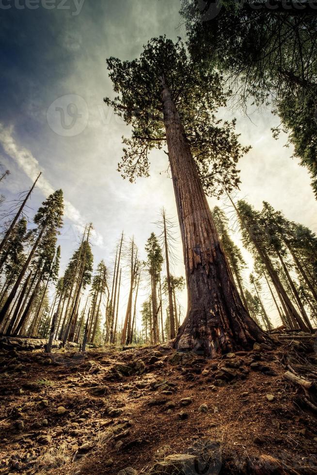 Mammutbaum zum Himmel foto
