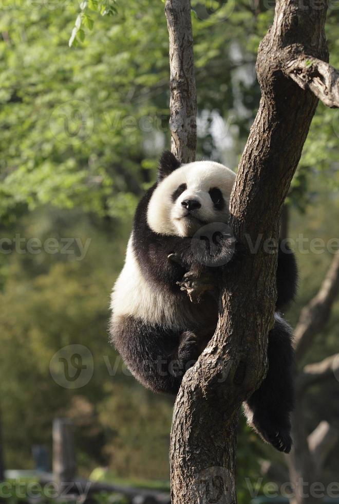 Pandajunges schläft auf einem Baum.Version ii foto