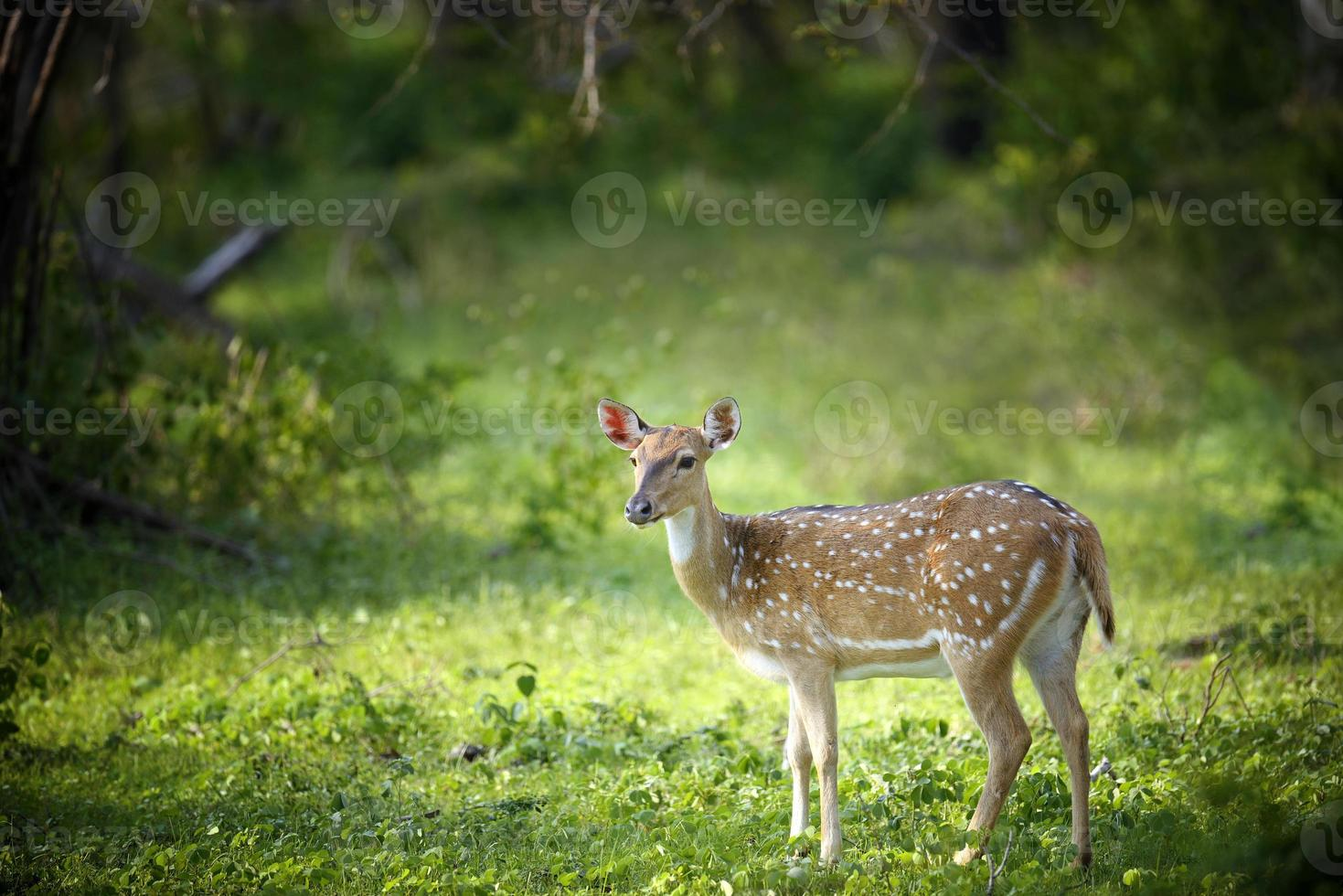 wild gefleckte Hirsche foto