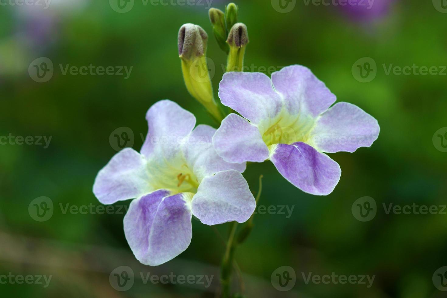 Justicia Gangetica Blume foto