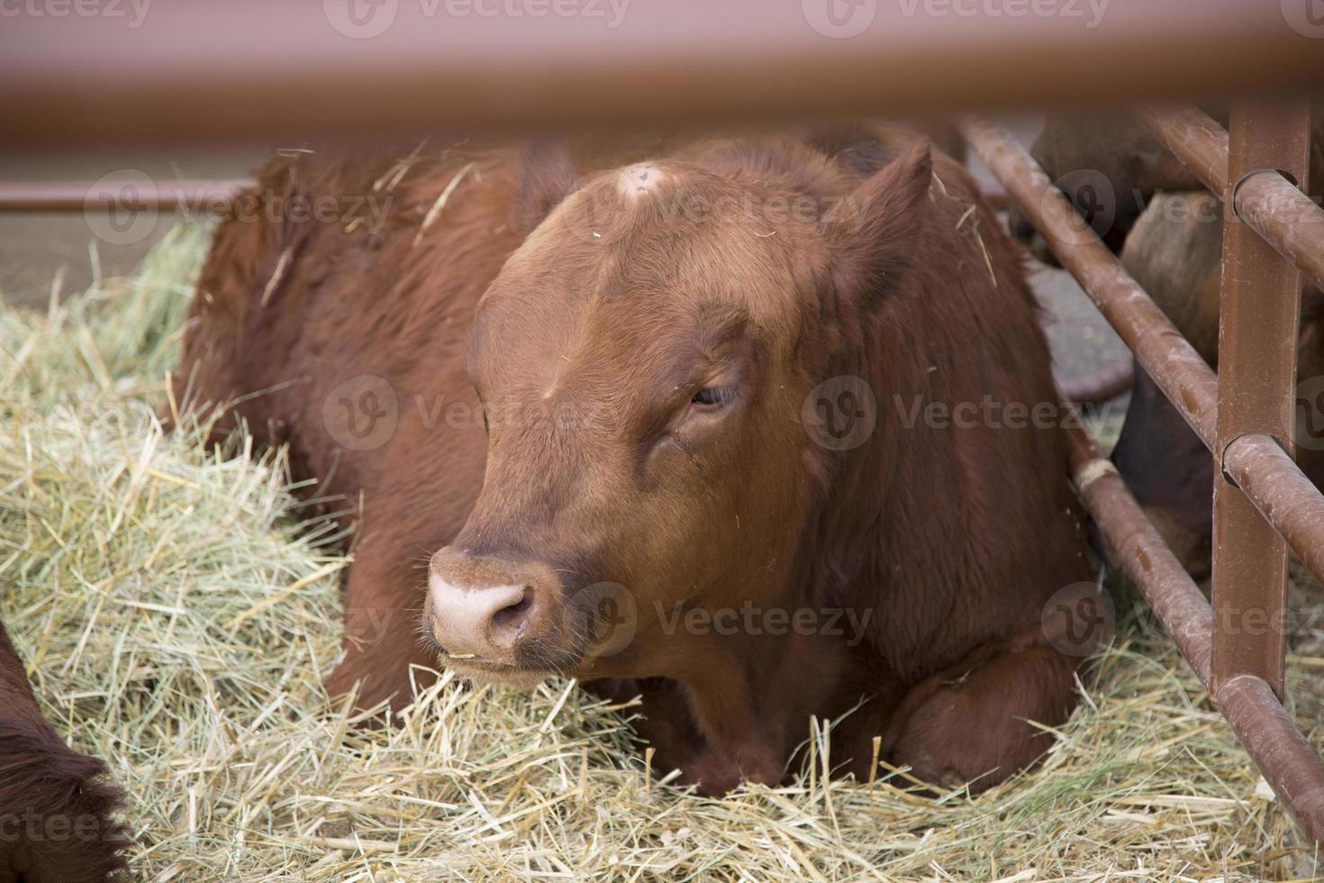 rote Kuh genießt sein Heu foto