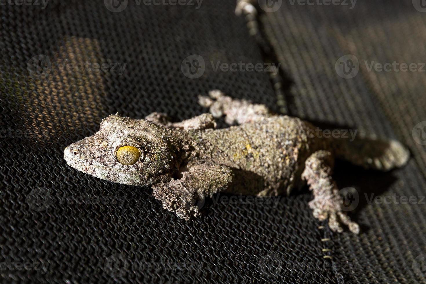 dunkler moosiger Blattschwanzgecko foto