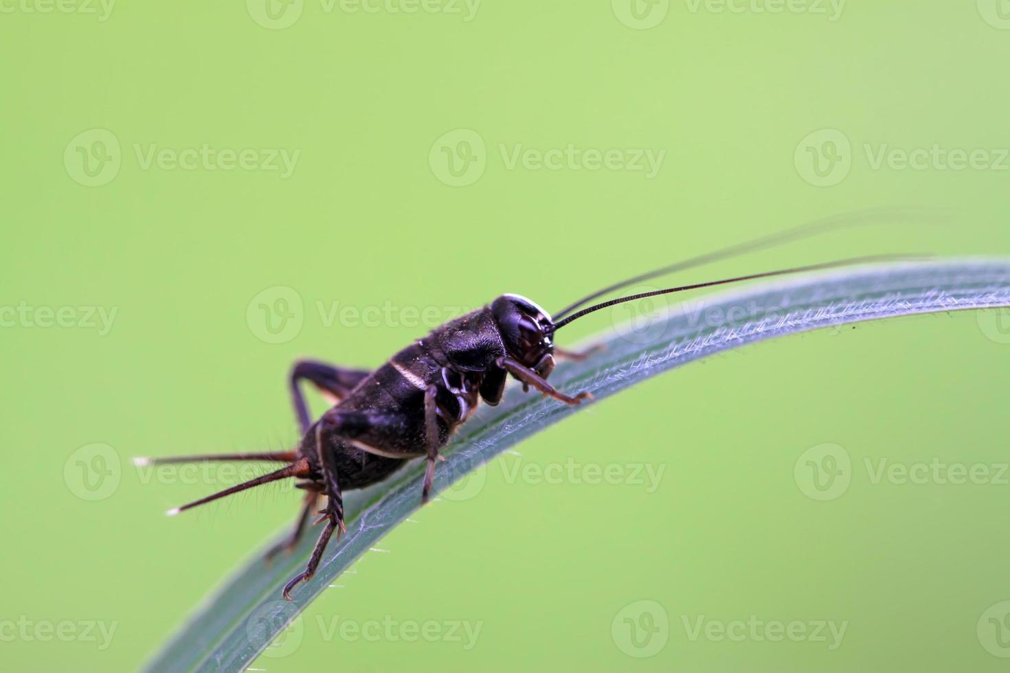 Cricket-Nymphen foto