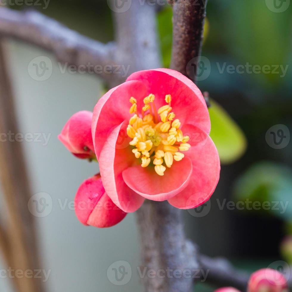 Frühlingsblumenserie, rote Blüten auf den Zweigen, die cha blühen foto