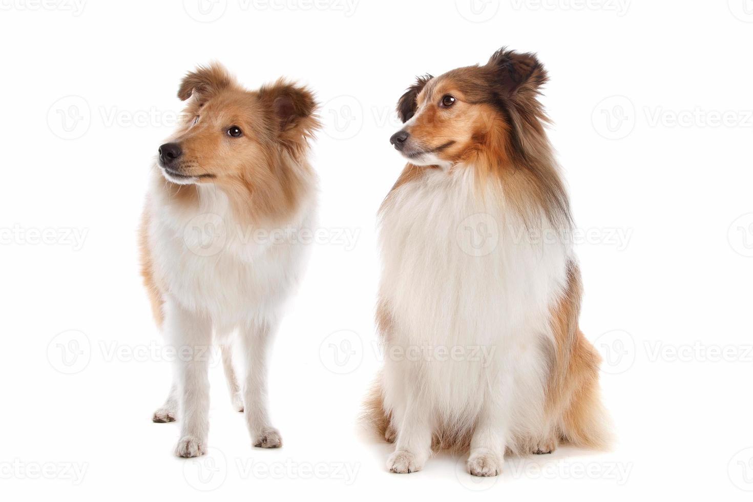 Shetland-Schäferhunde foto