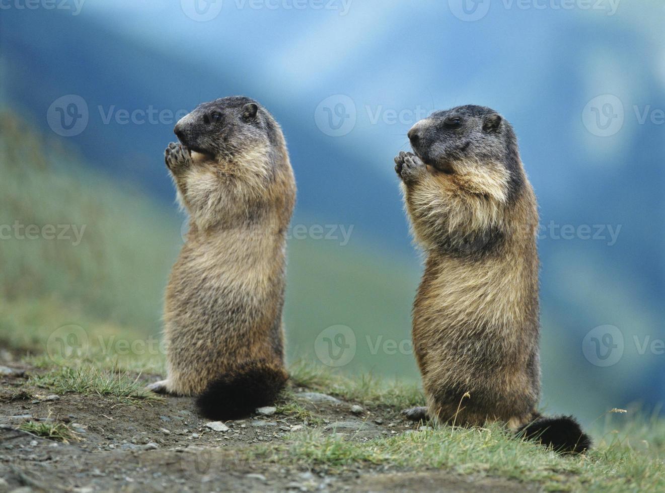 zwei Murmeltiere foto
