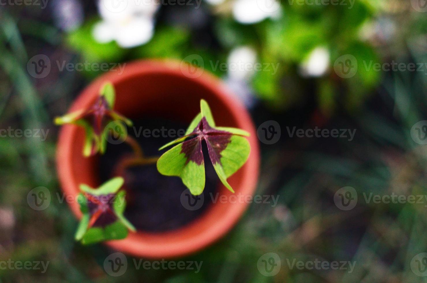 vierblättriges Kleeblatt in einem Topf foto