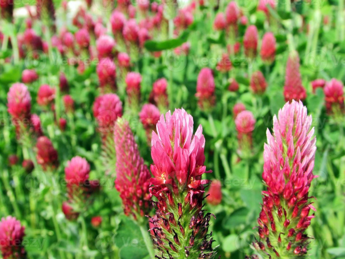 Trifolium Rubens Rotklee foto