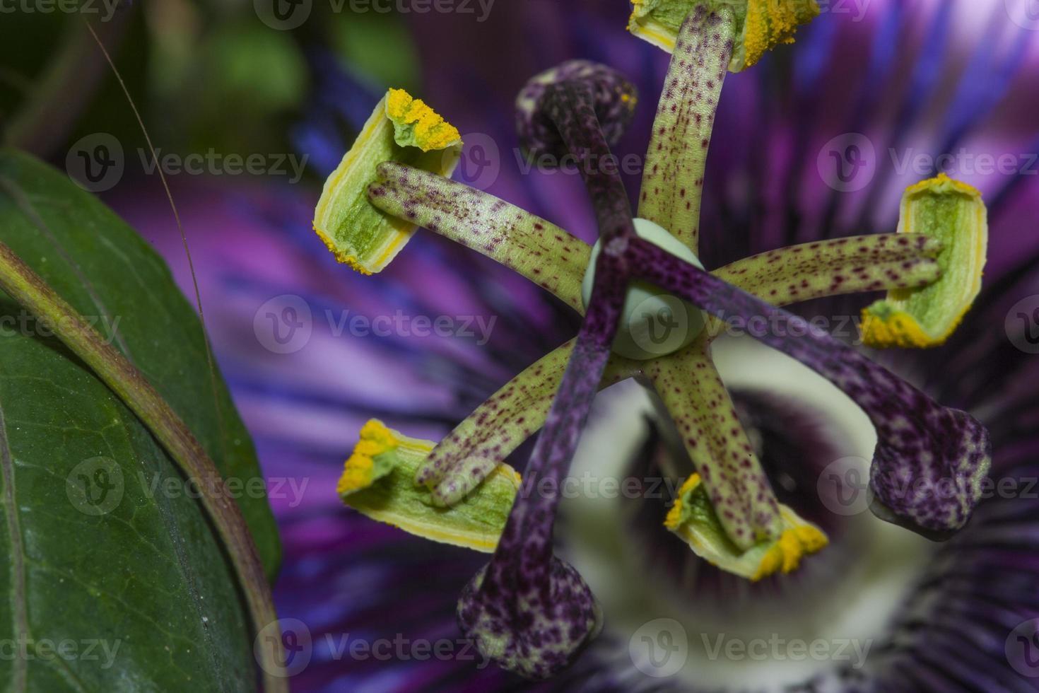 Staubblätter und Stempel von Passiflora caerulea (Familie: Passifloraceae. Südamerika) foto