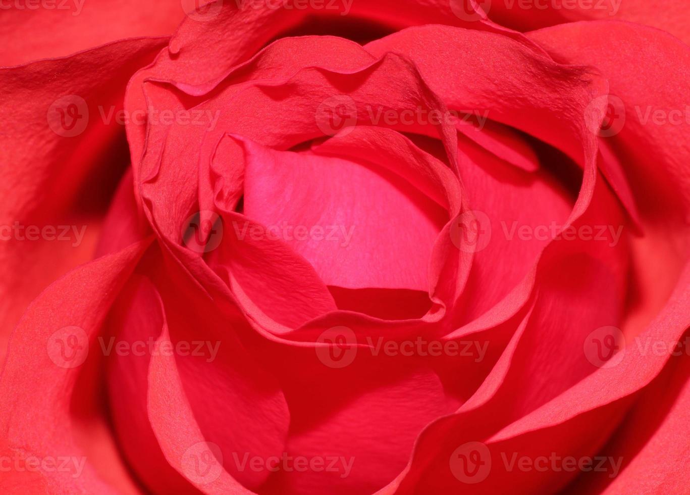 Valentinstag rote Rose foto