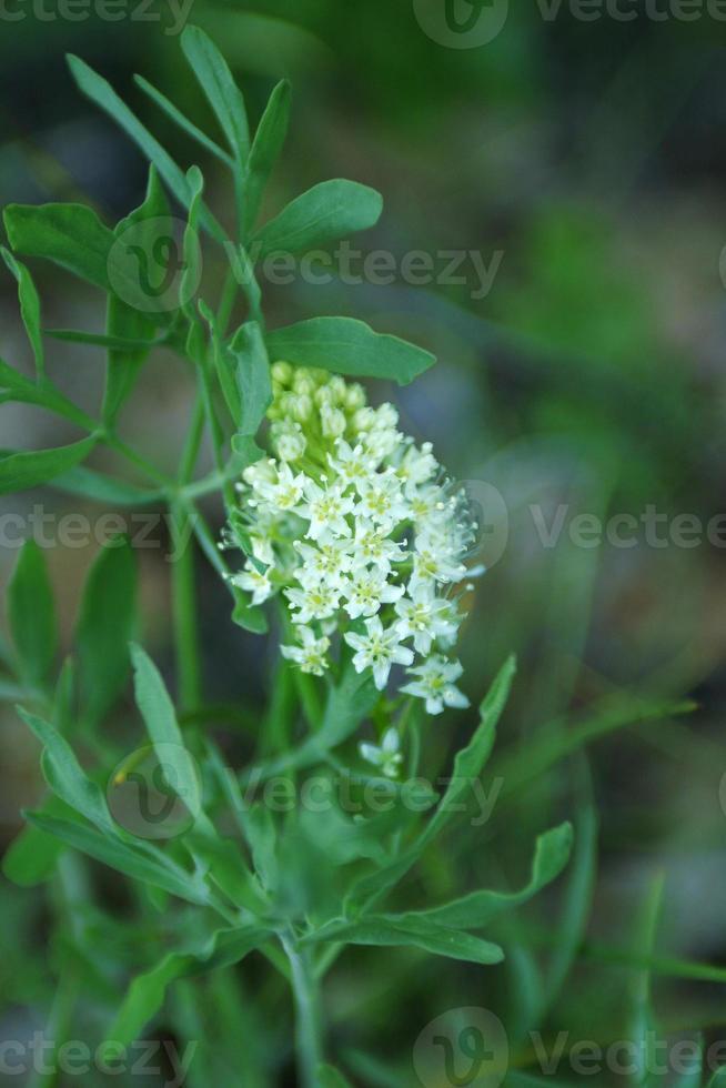 Buckbrush Blumen foto